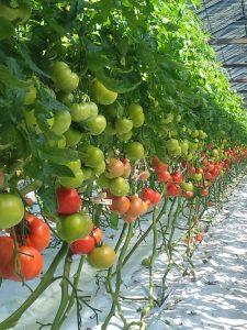 tomatos-1