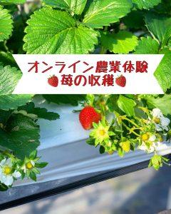 オンライン苺収穫